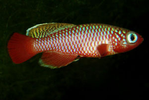 Nothobranchius cardinalis