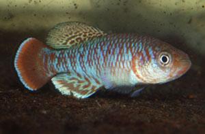 Nothobranchius kafuensis Mambova ZAM 03-1