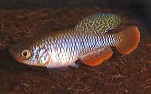 Nothobranchius kafuensis Nega Nega.