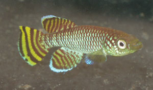Nothobranchius korthausae