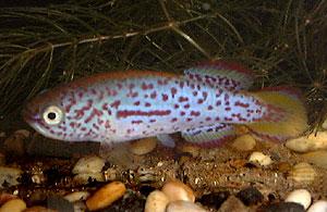 Pronothobranchius kiyawensis