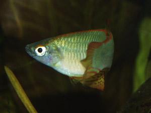 Procatopus nototaenia