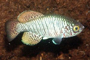 Nothobranchius rachovii MOZ 99-9