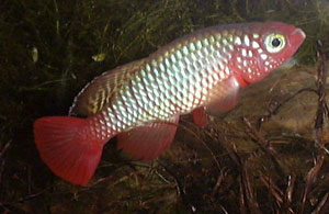 Nothobranchius rubripinnis Mbezi River TAN 97/41