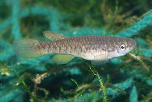 Scriptaphyosemion guignardi Banfora female