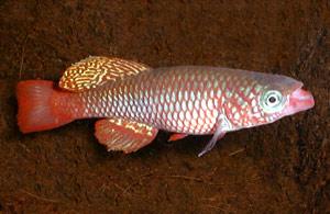 Nothobranchius sp. TAN 97-23