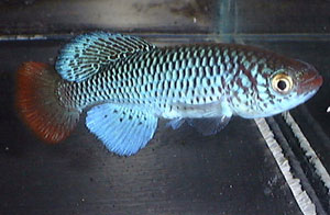 Nothobranchius ugandensis Dokolo UGR 99/7