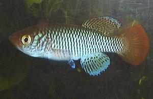 Nothobranchius ugandensis Soroti UGR 99/9