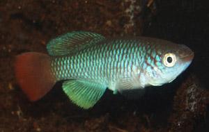 Nothobranchius ugandensis Butiaba UGJ 99-13