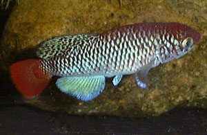Nothobranchius ugandensis