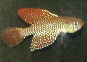 Simpsonichthys reticulatus
